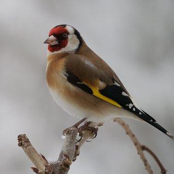Stieglitz, Bird, Branch, Sitting, Little Bird, Songbird