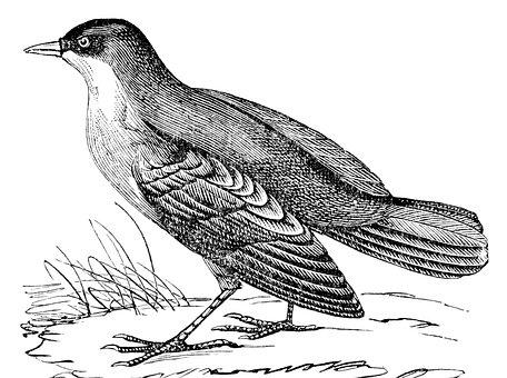 White-throated Dipper, Dipper, Bird, Cinclus, Stream