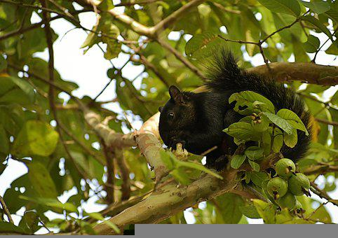 Squirrel, Fauna, Animals, Nature, Rodent