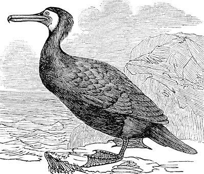 Cormorant, Bird, Aquatic, Beak, Feathers