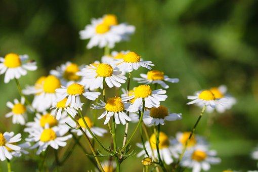 Chamomile, Flowers, Bloom, Blossom, White Flowers