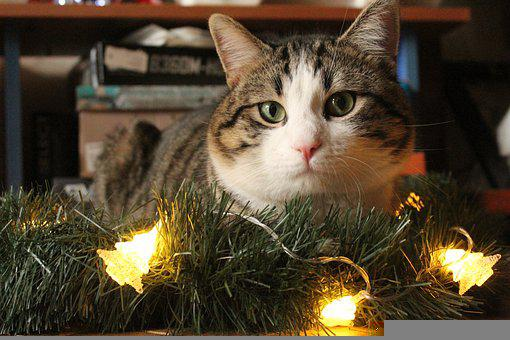 Cat, Pet, Christmas Lights, Christmas, Holidays, Animal