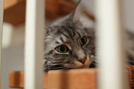 Cat, Maine Coon, Stairs, Cat's Eyes, Surprised