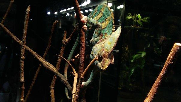 Chameleon, Reptile, Green, Chamaeleonidae, Reptiles