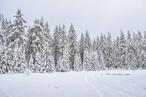 Snow, Conifers, Forest, Landscape, Nature, Winter