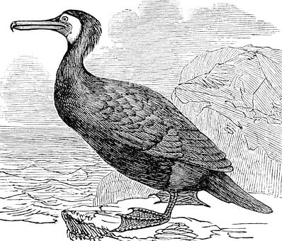 Cormorant, Bird, Aquatic, Beak, Feathers, Plumage, Ave