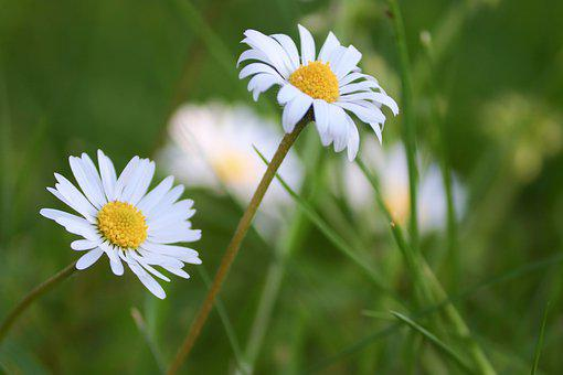 Daisies, White Flowers, White Daisies, Flowers, Petals