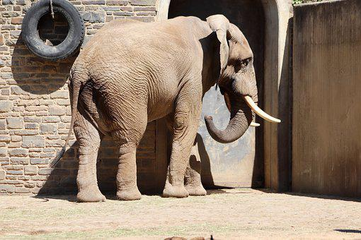 Elephant, African Bush Elephant, Zoo