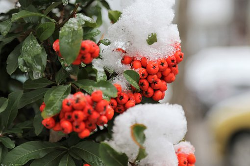 Red Firethorn, Branch, Frost, Red Column