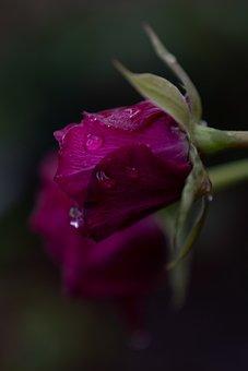 Rose, Dewdrops, Red Rose, Flower, Petals, Rose Petals