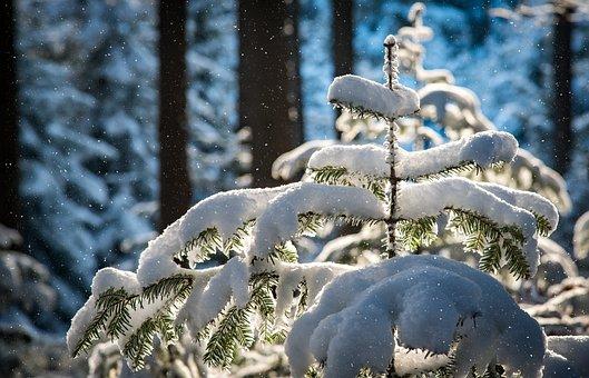Snowfall, Fir, Trees, Snow, Snowing