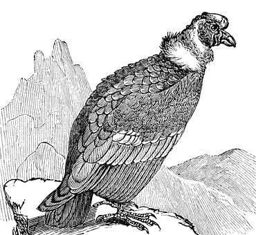 Condor, Bird, Vulture, Andean, California, Mountain