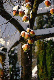 Apple, Apples, Apple Tree In Winter, Snow On Apples