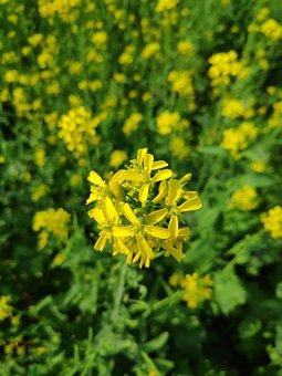 Mustard, Flower, Nature, Beauty, Bangladesh