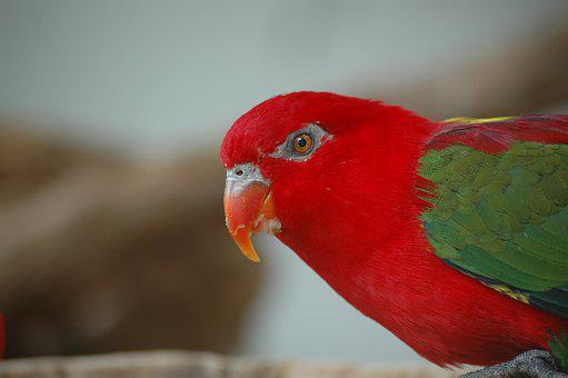 Bird, Red, Tropical, Colorful