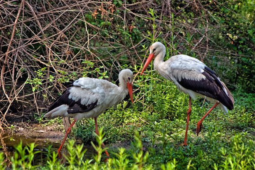 White Stork, Birds, Couple, Animals, Plumage