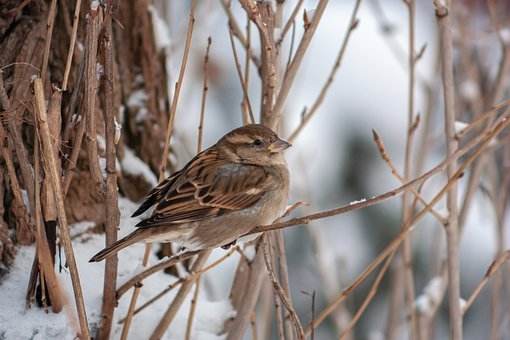 Bird, Brown, Wild, Sparrow, Winter, Outdoor, Park, Tree