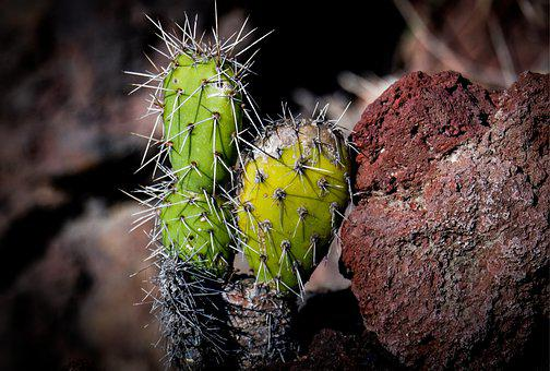 Nature, Cactus, Plant, Garden, Botanical, Desert