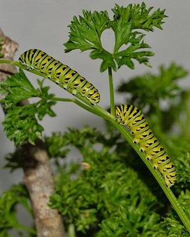 Swallowtail, Caterpillar, Butterfly, Insect, Garden