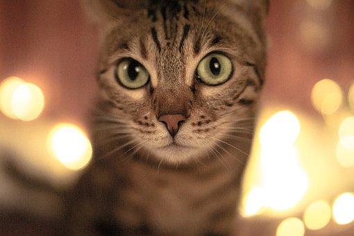 Cat, Pet, Kitten, Animal, Domestic Cat, Cute, Pretty