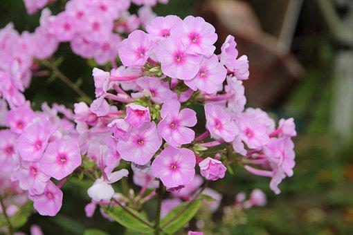 Phlox, Plants, Pink, Garden, Gardening, Flowers, Bloom