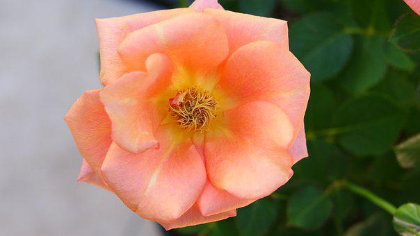 Rose, Petals, Stamen, Pistils, Peach, Pink, Orange