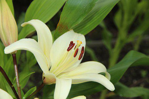 Lily, White Lily, Flowers, Nature, Plant