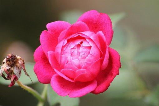 Rosa, Nature, Flower, Flowers, Roses, Rose, Spring