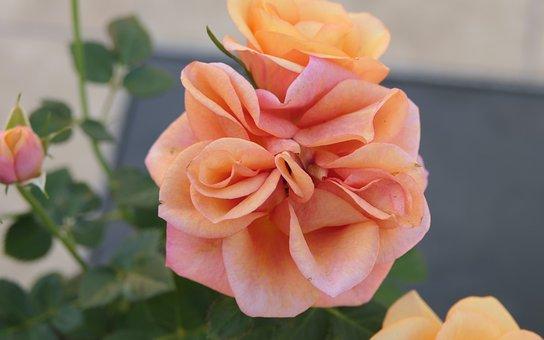 Roses, Peach, Pink, Flowers, Petals, Rosebud, Rose