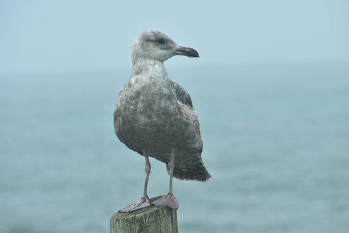 Seagull, Young, Nature, Bird, Seabird, Beach, Ocean