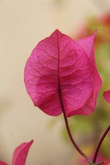 Bougainvillea, Side View, Flower, Leaf, Pink Leaf