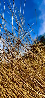 Grass, Straw, Hay, Wheat, Reed, Dry