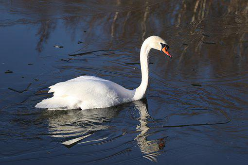 Swan, Ice, Lake, Frozen, Water, White, Animal, Bird