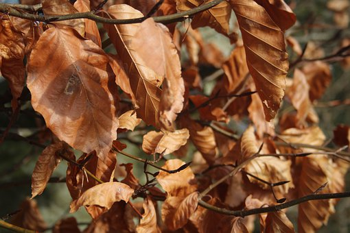 Leaves, Brown, Pattern, Autumn, Fall, Beech, Tree