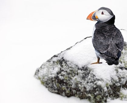Puffin, Snow, Rock, Bird, Nature, Plumage, Wildlife