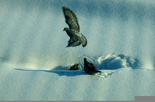 Pigeons, Snow, Fly, Winter, Birds, Nature, White, Frost