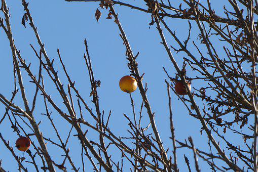 Tree, Apple, Winter, Fruit, Wintertime, Wintry, Kahl