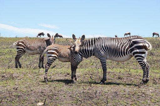 Zebra, Family, Casual, Animals, Cute, Sweet
