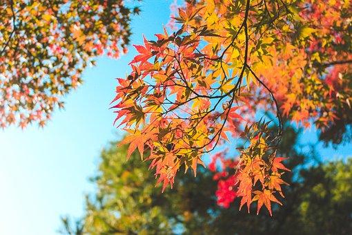 Autumn, Leaves, Maple, Foliage, Autumn Leaves