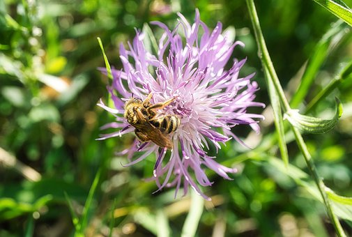 Bee, Flower, Insects, Bees, Pollen, Plants, Nature