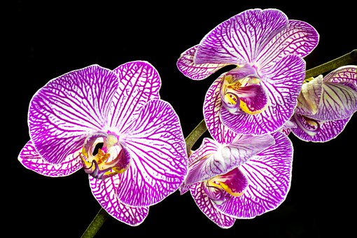 Orchid, Close Up, Flower, Blossom, Bloom, Nature