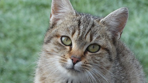 Cat, Kitten, Pet, Feline, Kitty, Cat Portrait, Portrait