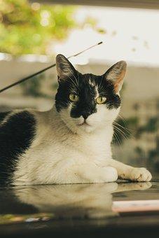 Animal, Cat, Tiger, Pet, Cute, Lion, Kitten, Feline