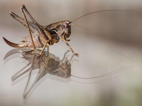 Grasshopper, Mirroring, Reflection, Caelifera, Close Up