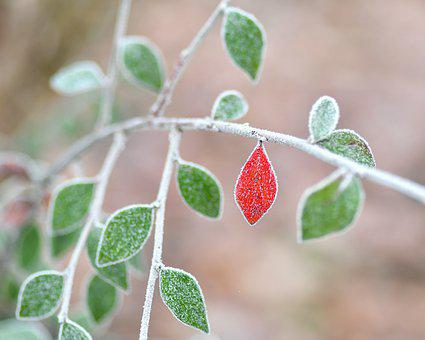 Leaves, Frost, Branch, Winter, Cold, Plant, Nature