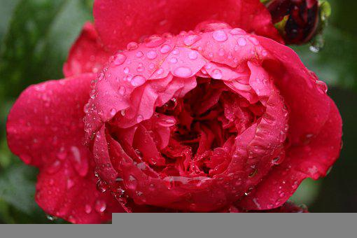 Rose, Red, Dewdrops, Dew, Water Droplets, Red Rose