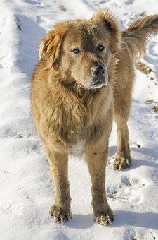 Dog, Sheep Dog, Working Dog, Guard Dog, Snow, Protector