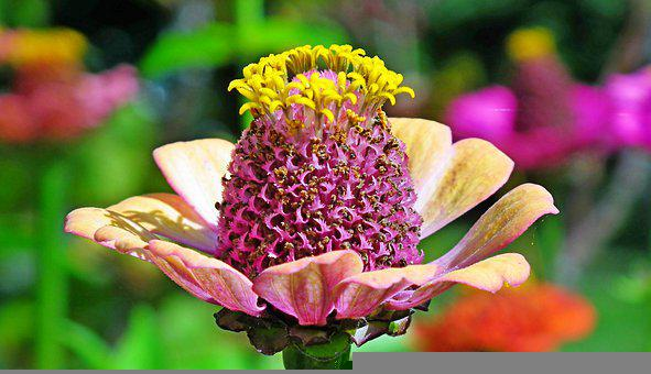 Zinnia, Flower, Pollen, Petals, Bloom, Blossom, Nectar