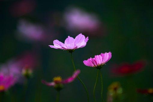 Cosmos, Flowers, Pair, Purple Flowers, Purple Petals