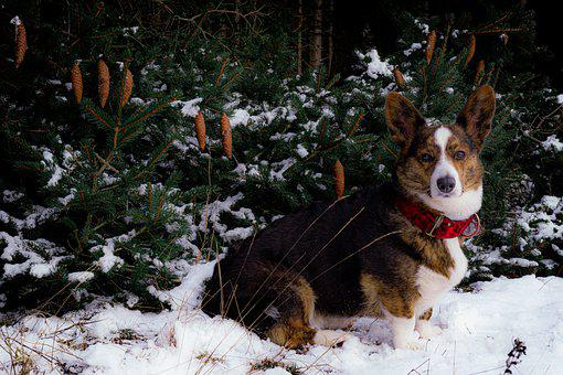Corgi, Snow, Dog, Pet, Animal, Forest, Nature, Tree